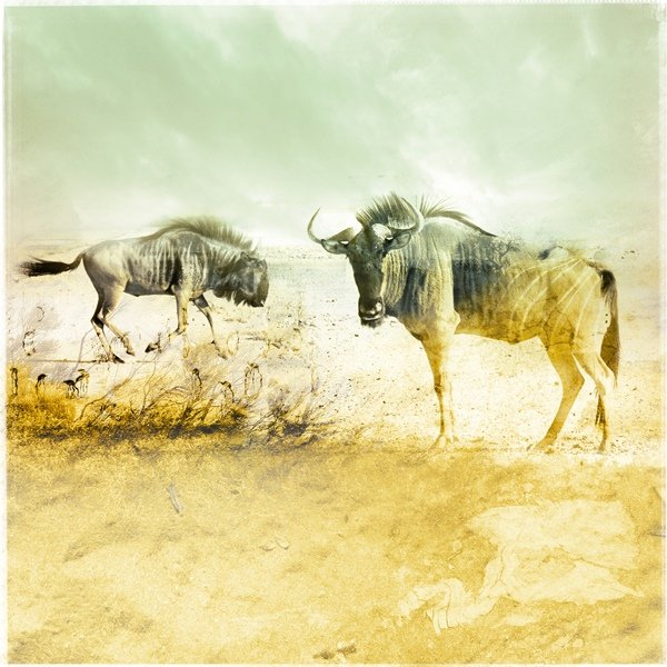 Dance of the Wildebeest - limited edition print by Janet Botes